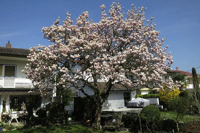 bluhende baume fur den vorgarten – rekem, Garten Ideen