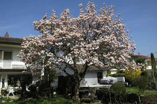 baume fur den vorgarten | rheumri, Garten Ideen